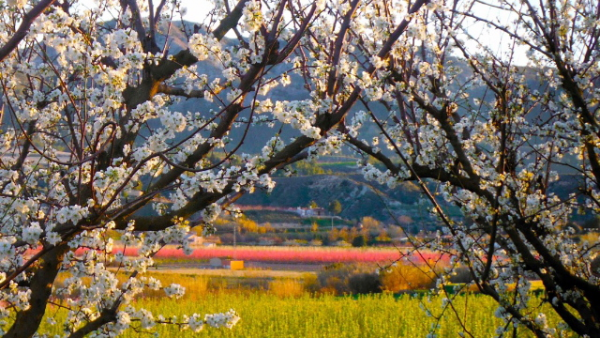 apricot blossom, Cieza, Murcia, valle de Ricote, Escapades, hollidays, experiences, rural house, offer